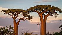 tree climbing in Madagascar